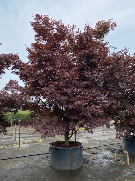 Acer palmatum 'Bloodgood' 300-350 cm breit x 375-400 cm hoch / Fächer-Ahorn (Nr.95)