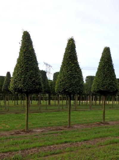 Carpinus betulus Fastigiata / Hainbuche / Weißbuche 'Hochstamm-Pyramide' H: 250 cm (Stamm 180 cm)