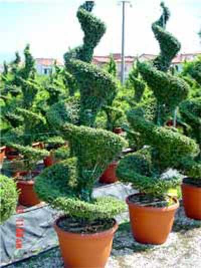 Ligustrum delavayanum 'Spirale'