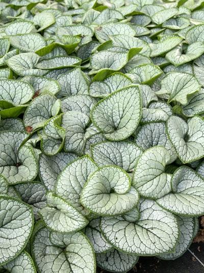 Brunnera macrophylla 'Silver Heart ®' / Kaukasus-Vergißmeinnicht