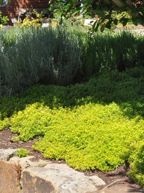 Thymus Citriodorus Golden Dwarf Garten Zitronen Thymian Gunstig