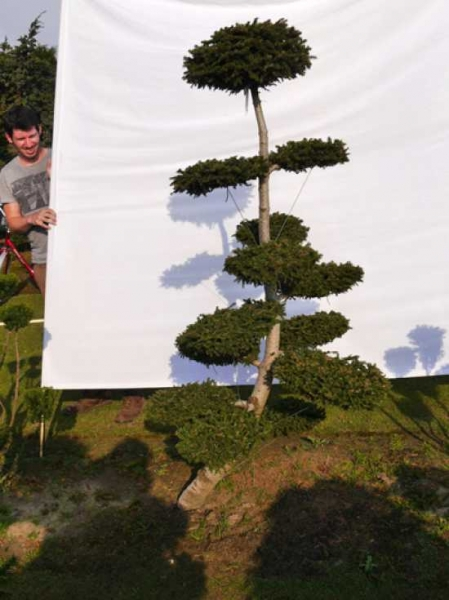 Picea orientalis 'Aurea' H: 190 cm B: 120 cm / Garten-Bonsai (0078)