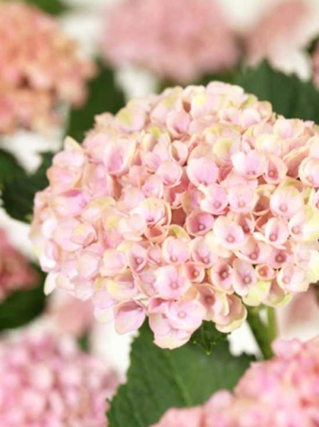 Hydrangea macrophylla 'Magical Revelotion'® rosa / Bauern-Hortensie 'Magical Revelotion'® rosa