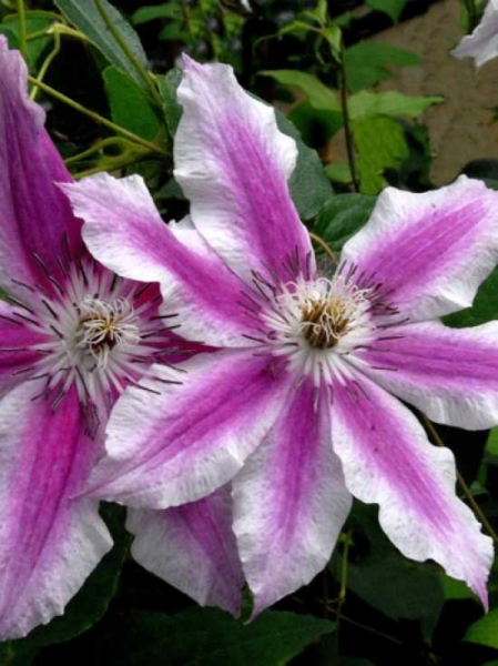Clematis Hybride 'Carnaby' / Waldrebe 'Carnaby'