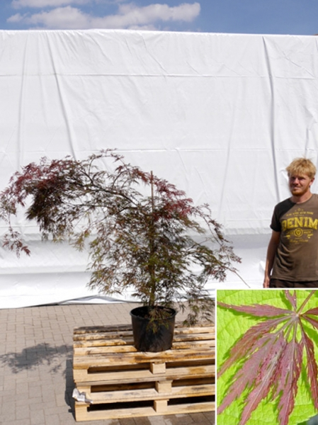 Acer palmatum 'Inaba shidare' / Fächerahorn 'Inaba shidare' / Japanischer Ahorn 100-125 cm (1115)