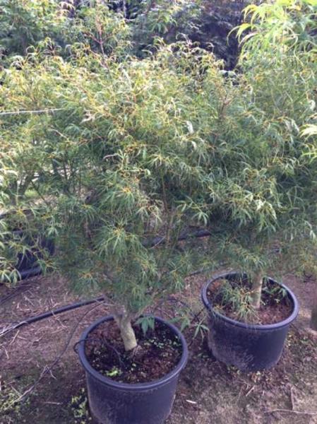 Acer palmatum 'Koto-no-ito' auf Stamm / Fächerahorn 'Koto-no-ito'