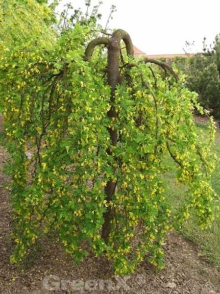 Caragana arborescens 'Pendula' / Hängender Erbsenstrauch