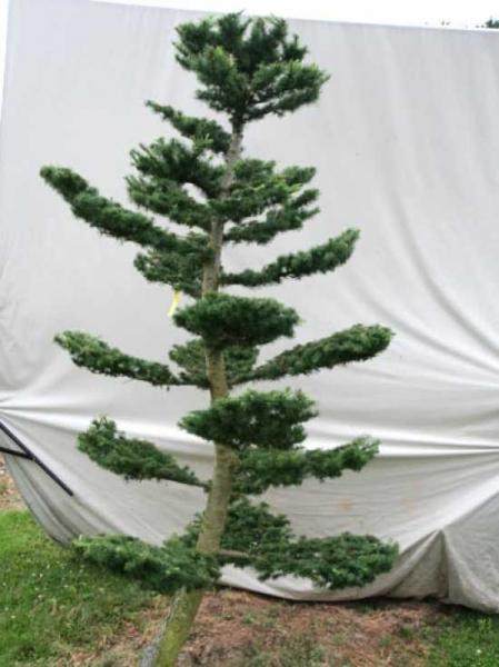 Larix decidua H: 260 cm B: 160 cm / Garten-Bonsai (801109)