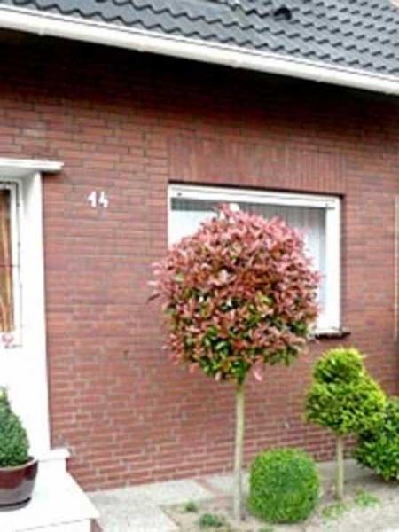photinia fraseri 39 red robin hochstamm 39 glanzmispel 39 red robin hochstamm 39 g nstig bestellen. Black Bedroom Furniture Sets. Home Design Ideas