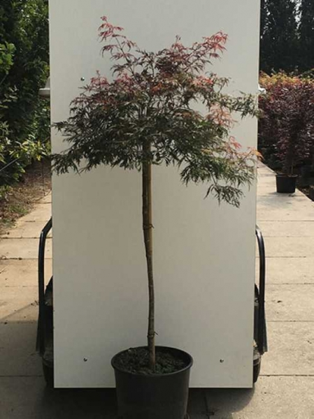 Acer palmatum 'Crimson Princess' auf Stamm / Fächerahorn 'Crimson Princess' / Schlitz-Ahorn