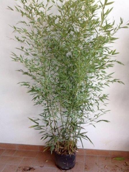 Phyllostachys bissetii / Bisset Bambus 150-175 cm im 12-Liter Container