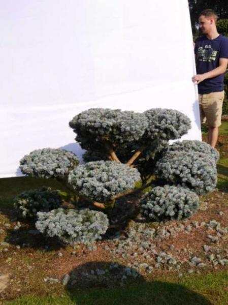 Picea pungens 'Glauca' H: 100 B: 170 cm / Garten-Bonsai (0048)