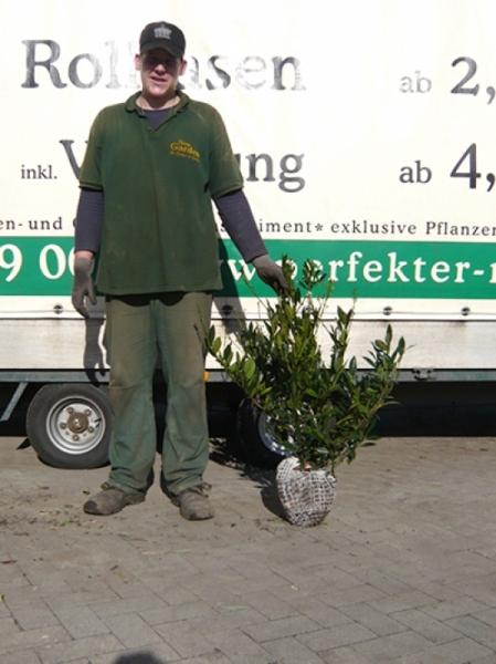 Prunus laurocerasus 'Otto Luyken' / Kirschlorbeer 'Otto Luyken' 50-60 cm mit Ballierung