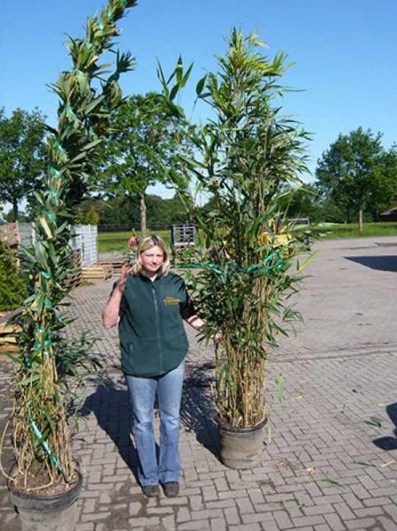 Pseudosasa japonica / Pfeilbambus 250-300 cm im 35-Liter Container