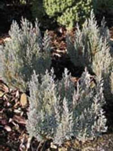 Juniperus horizontalis 'Grey Pearl' / Teppich-Wacholder 'Grey Pearl'