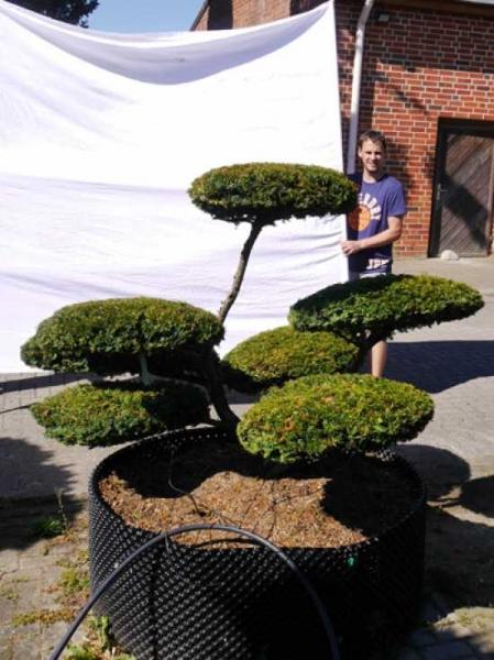 Taxus baccata 'Summergold' H:130 cm B: 180 cm / Garten-Bonsai (502105)