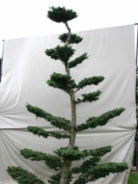 Larix decidua H: 330 cm B: 180 cm / Garten-Bonsai (801126)