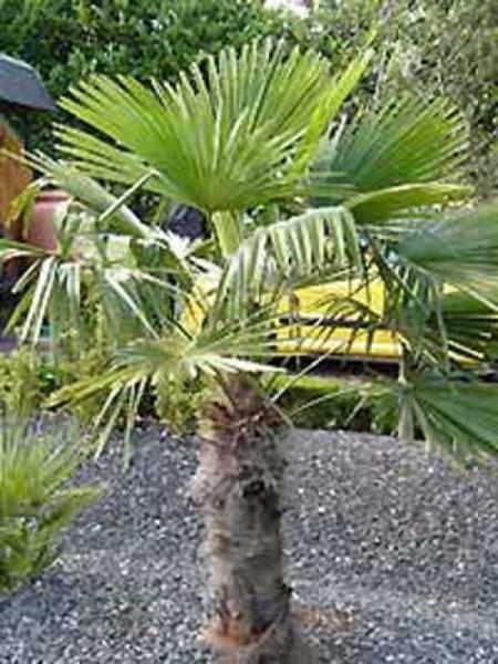 Trachycarpus fortunei / Chinesische Hanfpalme