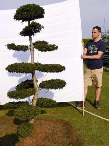 Picea orientalis 'Aurea' H: 200 cm B: 110 cm / Garten-Bonsai (0070)