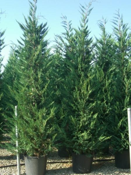 Cupressocyparis leylandii / grüne Bastardzypresse 250-300 cm im 40-Liter Container