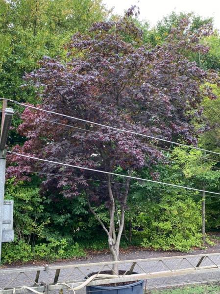 Acer palmatum 'Bloodgood' Schirm 250-300 cm breit x 400-450 cm hoch / Fächer-Ahorn (Nr.125)