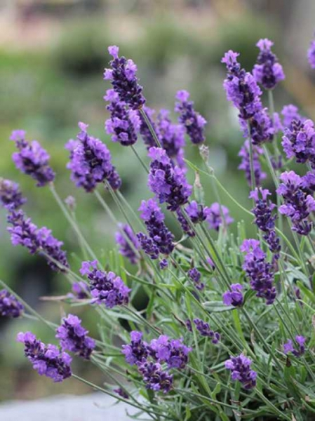 lavandula angustifolia 39 twickel purple 39 garten lavendel 39 twickel purple 39 g nstig kaufen. Black Bedroom Furniture Sets. Home Design Ideas