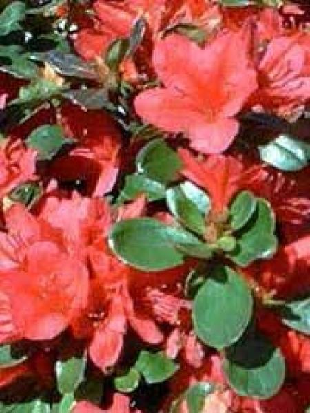 Rhododendron obtusum 'Stewartstown' / Japanische Azalee 'Stewartstown'
