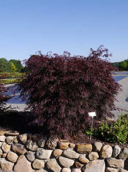 Acer palmatum 'Tamukeyama' / Fächer-Ahorn 'Tamukeyama'