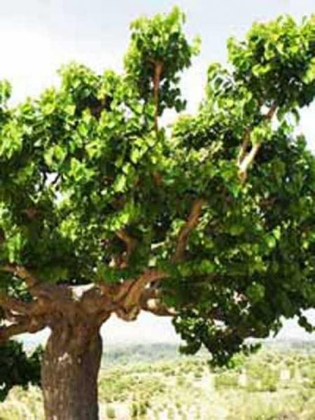 Morus nigra / Schwarzer Maulbeerbaum