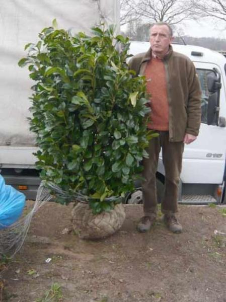 Prunus laurocerasus 'Etna' / Kirschlorbeer 'Etna' 140-160 cm Solitär mit Drahtballierung