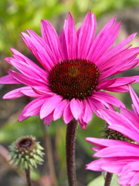 Echinacea purpurea 'Fatal Attraction ®' / Roter Sonnenhut