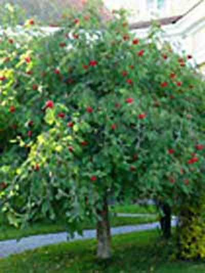 Sorbus aucuparia 'Pendula' / Hänge-Eberesche / Trauer-Eberesche