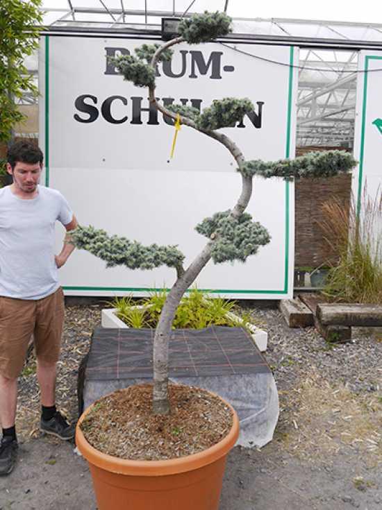cedrus libani 39 glauca 39 h 175 200 cm garten bonsai 1030 g nstig kaufen. Black Bedroom Furniture Sets. Home Design Ideas