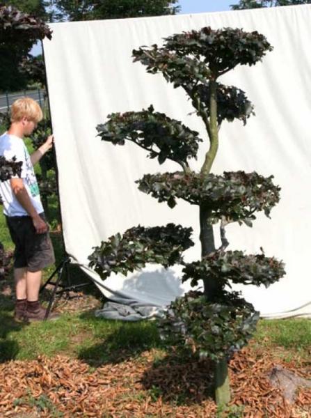 Fagus sylvatica 'Purpurea' H: 210 cm B: 130 cm / Garten-Bonsai (701123)