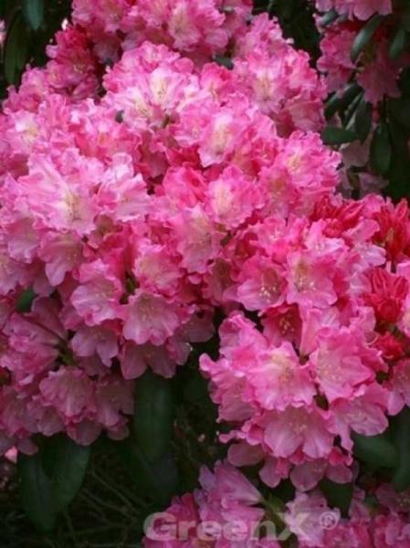 Rhododendron yakushimanum 'INKARHO Kalinka ®' / Rhododendron yakushimanum 'INKARHO Kalinka'