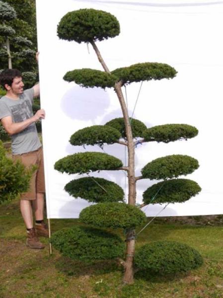 Taxus media 'Hillii' H: 230 cm B: 120 cm / Garten-Bonsai (0026)