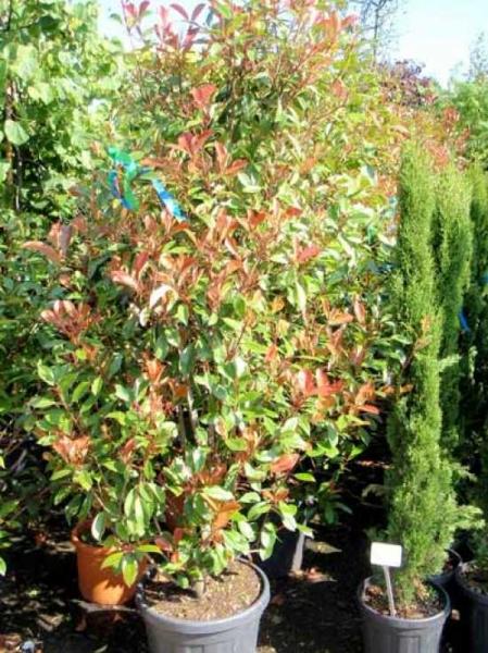 Photinia fraseri 'Red Robin' / Glanzmispel 175-200 cm im 50-Liter Container