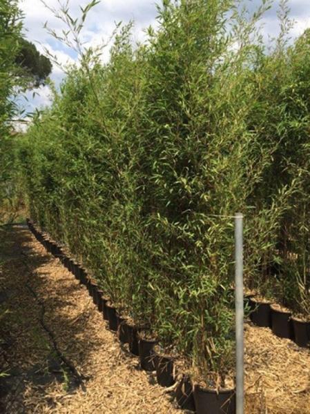 Phyllostachys nigra / schwarzer Bambus 200-250 cm im 25-Liter Container