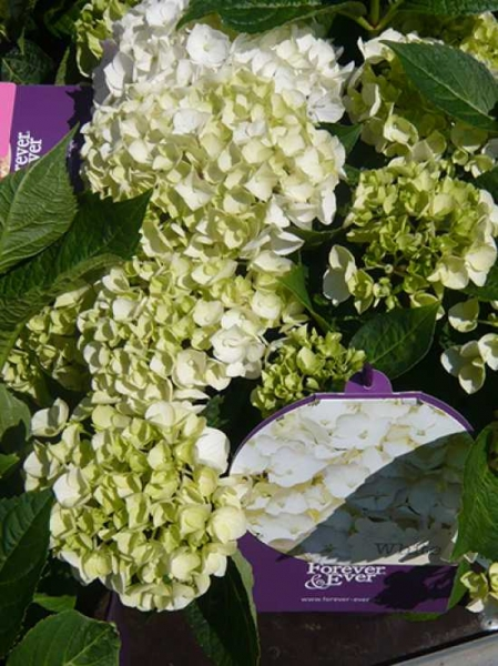 hydrangea macrophylla 39 forever ever white 39 bauern hortensie 39 forever ever white 39 g nstig. Black Bedroom Furniture Sets. Home Design Ideas