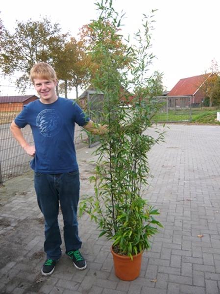 Phyllostachys nigra 'Boryana' / brauner Flecken Bambus 175-200 cm im 20-Liter Container
