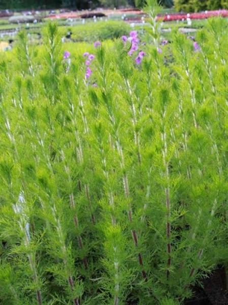 Eupatorium capillifolium 'Elegant Plume' / Haarblättriger Wasser-Dost 'Elegant Plume'