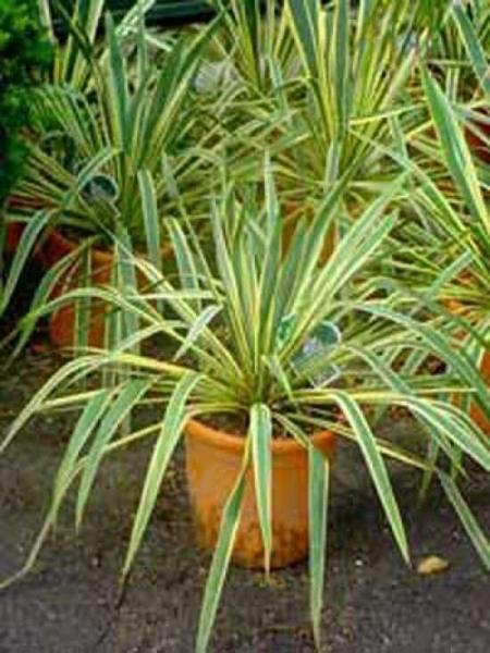 Yucca filamentosa 'Bright Edge' / Gelbgestreifte Palmlilie