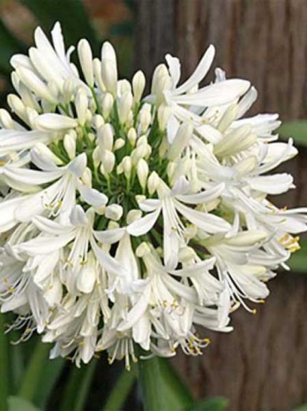 Agapanthus umbellatus 'Albus' / Weiße Afrikanische Schmucklilie