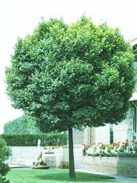 Ulmus minor 'Umbraculifera' / Ulmus carpinifolia 'Umbraculifera' / Kugel-Ulme