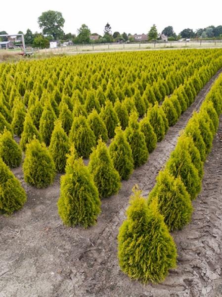 Thuja occidentalis ' Golden Smaragd' / Lebensbaum 'Golden Smaragd' 50-60 cm mit Ballierung
