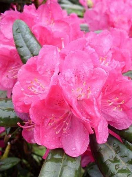 Rhododendron Hybride 'INKARHO Homer' / Rhododendron Hybride 'INKARHO Homer'