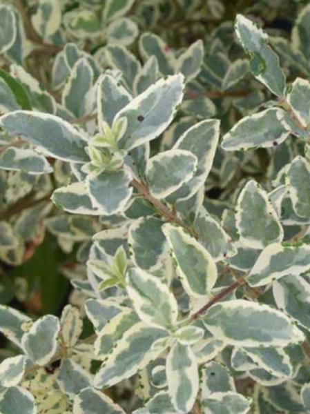 Geliebte Ligustrum japonicum 'Variegatum' / Weißbunter japanischer Liguster &SG_15