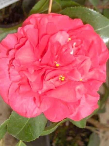 Camellia japonica 'Kramer's Supreme' / Japanische Kamelie 'Kramer's Supreme'