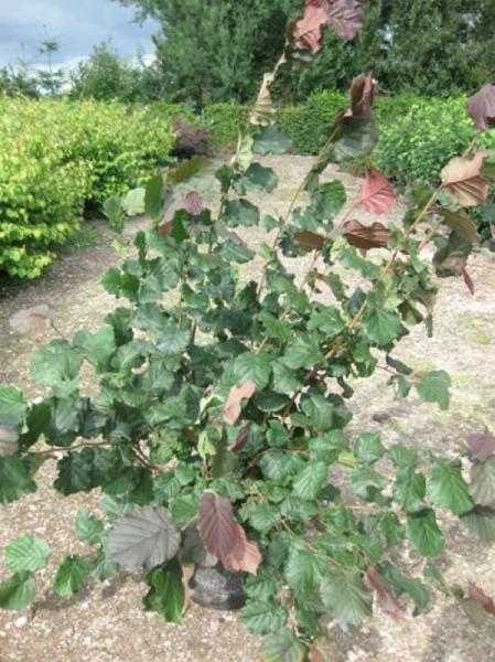 Corylus maxima 'Purpurea' / Purpur-Hasel / Blut-Hasel