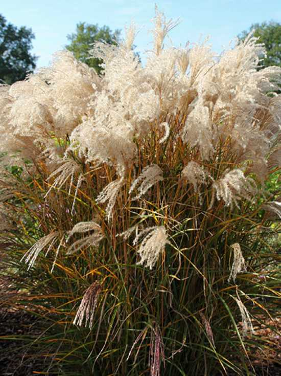 miscanthus sinensis 39 kleine font ne 39 chinaschilf 39 kleine. Black Bedroom Furniture Sets. Home Design Ideas